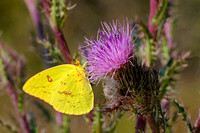 Cloudless Sulphur female on thistle