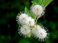 Buttonbush blooms