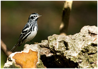 Black and White Warbler in my yard
