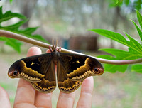 Sweetbay Silkmoth male