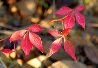 Virginia creeper, fall leaves