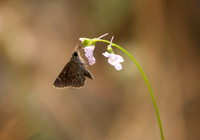 Dusky Roadside Skipper on Toadflax