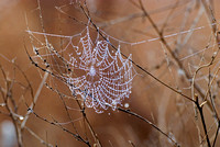 Winter morning spiderweb
