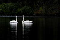 Trumpeter Swans, Byers Lake