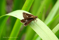 Twin-Spotted Skipper
