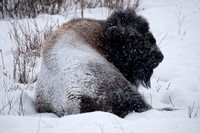 Bull Bison in Snow